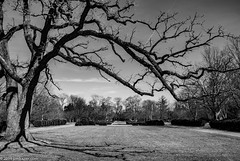 Overhang (Jim Frazier) Tags: blackandwhite bw bluesky publicgarden 2019 fagaceae quercusmacrocarpa biota 20190327cantigny 20190327cantignyphasetwoiscoming 2019cantigny life park plants nature monochrome gardens museum landscape one march living illinois quercus flora pov framed lawn parks dupage il botanic desaturated lonely framing botanicgarden botanicalgardens horticulture preserve botanicalgarden perpendicular centered cantigny linedup lonesome buroak overhanging headon dupagecounty q4 cantignypark centralperspective fountaingarden jimfraziercom doneexportedtoflickr trees spring scenery scenic sunny symmetry sidewalk volunteering single symmetrical walkways volunteer wheaton visitorcenter twitter jfpblog instagram f10 fastpictures f20