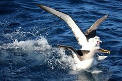 Albatross altercation! (famkefonz) Tags: albatross whitecappedalbatross campbellalbatross bullersalbatross seabird pelargicseabird southpacificocean ocean newzealandbirds newzealandalbatrosses tutukaka northland newzealand