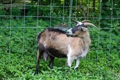 KIKO GOAT (nsxbirder) Tags: animals goat indiana kiko