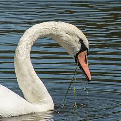 Cygne (Sylvie's Eye) Tags: pond étang bassindarcachon eau swan cygne bird ares water gironde oiseau blanc white