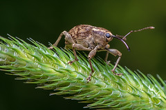 Weevil II (J-F No) Tags: weevil insects insectes bugs animal fauna nature pentax macro 100mm