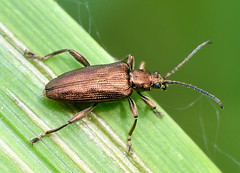 Sjösävsbock / Reed Beetle (Donacia impressa) (Martin1446) Tags: nature natur nikon d500 macro makro insekt skalbagge beetle sjösävsbock reed donacia impressa