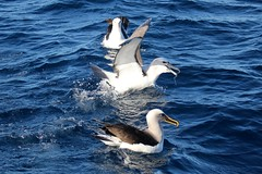 Albatross trio (famkefonz) Tags: albatross whitecappedalbatross campbellalbatross bullersalbatross seabird pelargicseabird southpacificocean ocean newzealandbirds newzealandalbatrosses tutukaka northland newzealand