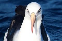Campbell Albatross (famkefonz) Tags: albatross whitecappedalbatross campbellalbatross bullersalbatross seabird pelargicseabird southpacificocean ocean newzealandbirds newzealandalbatrosses tutukaka northland newzealand