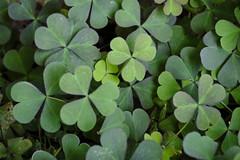 Shady Clover - The Beauty Of Green (Modkuse) Tags: green art nature natural fineart velvia greens fujifilm clover photoart fujinon fineartphotography artphotography xt2 xf1855mmf284rlmois fujinonxf1855mmf284rlmois fujifilmxt2 fujifilmxt2velviasimulation fujifilmxt2velvia photoflat thebeautyofgreen