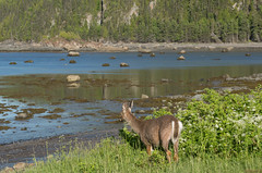 Chevreuil, deer - Parc national du Bic, QC, Canada - 2834 (rivai56) Tags: parcnationaldubic qc canada provincedequébec park nature promenade dun chevreuil dans le parc et près du fleuve saintlaurent