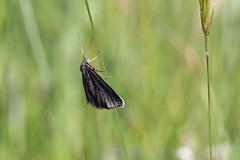 Chimney sweeper moth (Steve Balcombe) Tags: insect moth chimneysweeper lepidoptera odezia atrata priddymineries mendips mendiphills somerset uk