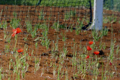 Nor Clay or Grass... Poppy.