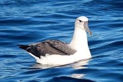 White Capped Albatross (famkefonz) Tags: albatross whitecappedalbatross newzealandbirds newzealandalbatross pelargicseabirds ocean southpacificocean tutukaka northland newzealand