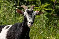 KIKO GOAT (nsxbirder) Tags: kiko animals goat indiana
