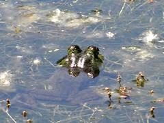 A closer look (EcoSnake) Tags: americanbullfrog lithobatescatesbeiana frogs amphibians water wildlife june idahofishandgame naturecenter