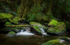nelson falls forest (back from Australia) Tags: forest rainforest nelsonfallsnationalpark trees water virginforest slowshutterspeed tasmania australia oceania travel ivodedecker
