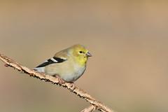 American Goldfinch (jonathanirons28) Tags: amgo november finches bigwaterfarm blinding feederbirds fall2018 2019 maryland queenannesmd yardbirding