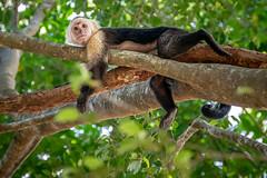 Up A Tree (helenehoffman) Tags: cebusimitator conservationstatusleastconcern newworldmonkey primate costarica panamanianwhitefacedcapuchin mammal centralamericanwhitefacedcapuchin monkey panamanianwhiteheadedcapuchin curunationalwildliferefuge animal