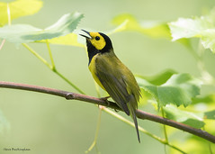 Hooded Warbler (sbuckinghamnj) Tags: warbler newjersey bird hoodedwarbler