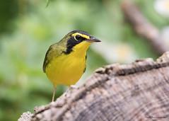 Kentucky Warbler (sbuckinghamnj) Tags: warbler newjersey bird kentuckywarbler