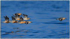 The Chase (EXPLORE, June 23 2019, #37) (RKop) Tags: redknot capemay raphaelkopanphotography d500 600mmf4evr 14tciii handheld newjersey