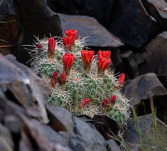 Blooming Cactus Amongst The Rocks (Echinocereus triglochidiatus) (RS2Photography) Tags: claretcupcactus claretcup inyocounty inyomountains inyo echinocereustriglochidiatus rs2photography rs2 smugmug flickr art red californialife california ca westguard westguardpass life naturephotography natur nature flower eos canonusa canon80d canon colours outside cacti cactus blooming flowers