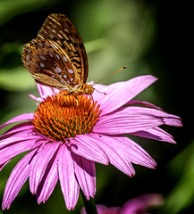 Orange to Orange (Portraying Life, LLC) Tags: dbg6 da3004 hd14tc k1mkii michigan pentax ricoh unitedstates butterfly closecrop handheld nativelighting meadow daisy wild nectar