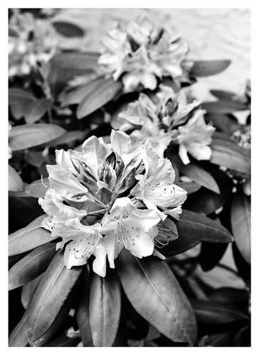 Rhododendron Bush