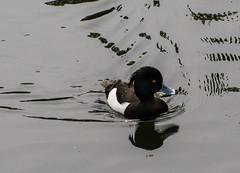 190423.083  Tufted Duck (tulak56) Tags: 2019 europe uk london kewgardens bird duck