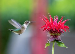 Ruby-throated Hummingbird  (f) (Nikki Nobles) Tags: hummingbirds rubythroatedhummingbird tinybirds migratorybirds