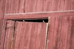 Barn Swallows in their Natural Environment (marylea) Tags: may26 2019 spring fourmilelake dextertownship washtenawcounty michigan birds barnswallows redbarn farm barn rural ruraldecay