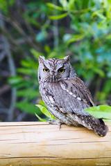 Juvenile Western Screech Owl (fandarwin) Tags: juvenile western screech owl boise darwin fan fandarwin olympus omd em10