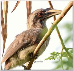"""Know your worth never settle for less than you deserve."" (Ramalakshmi Rajan) Tags: bird birds nikon nikkor70300mm indiangreyhornbill nikond750"