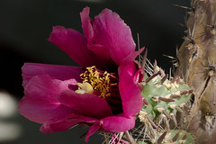 Cholla bloom in the Cactus & Succulent Gardens, Tucson Botanical Gardens (Distraction Limited) Tags: tucsonbotanicalgardens tucsonbotanical botanicalgardens gardens tucson arizona tbg20190531 cholla cylindropuntia flowers cactus cactusandsucculentgarden cactussucculentgarden dembflipit flipit