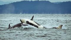Breaching Orcas (Daveography.ca) Tags: bc water mountains whale britishcolumbia straitofgeorgia vancouver orca orcas breach vancouverisland canada strait killerwhales ocean killerwhale breaching sea georgiastrait whales