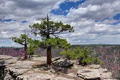 Survivors (walkerross42) Tags: tree pine evergreen rocks ledge cliff redcanyon flaminggorge utah canyon