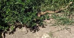 Snake in the Grass (Bennilover) Tags: hiking utah mountains trails june rattlesnake 9rattles snakes western brush rattlesnakes googlepixel