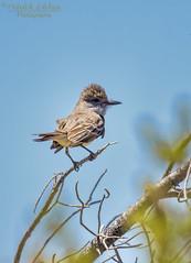Brown-crested Flycatcher (Patrick Dirlam) Tags: arizona birds trips watsonlake flycatcher browncrested