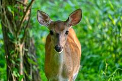 Doe (cj13822) Tags: ellicottcity maryland unitedstatesofamerica tamron canon wildlife nature deer doe animal woods tree wildlifephotography naturephotography encounter stare ears intense