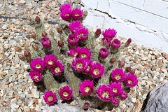 Spring Flowers (joeksuey) Tags: phoenix arizona floweringcacti joeksuey cactus hedgehog strawberry blooms poppy