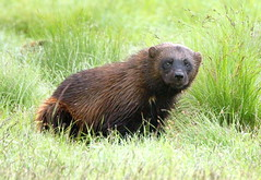 The wolverine in the wilderness (irio.jyske) Tags: wild wilderness wildlife wildanimal animal animalphotographer animalphotograph animals nature naturephoto naturepictures naturephotograph naturepic naturescape naturephotos naturephotographer naturepics natural wolverine beast staring colors summer brown green grass beautiful beauty photographer photograph photos picture