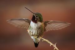 Black-chinned Hummingbird spreading its wings (Stephen G Nelson) Tags: bird hummingbird aviary desert blackchinned tucson arizona canoneosrebelsl1100d