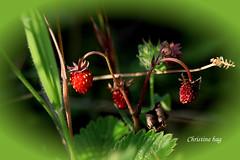IMG_6292 (christinehag) Tags: strawberries fraises αγριεσ φράουλεσ nature