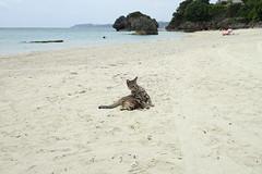 cat 105 (8pl) Tags: japon okinawa chat cat animal plage beach eau beau sable sablefin
