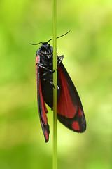 Cinnabar ... Tyria jacobaeae (AndyorDij) Tags: cinnabarmoth cinnabar tyriajacobaeae moth insect lepidoptera andrewdejardin england empingham empinghammoths rutland uk unitedkingdom eribidae nationalmothweek