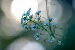 Blue Hour Bokeh (s.d.sea) Tags: garden issaquah washington washingtonstate wa pentax k5iis macro bloom flower floral flora pnw pacificnorthwest bokeh