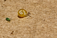 Tiny Snail with Translucent Shell (LongInt57) Tags: snail mollusk shell baby small tiny translucent brown insect green bug kelowna bc canada okanagan