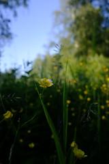 #summer (tobias.westman) Tags: summer flowers macro bokeh fujifilm x100t