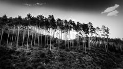 Föhrenwald, pine forest (fritz polesny) Tags: panasonicg81 1260mm waldviertel wald forest blackwhite landschaft loweraustria niederösterreich landscape