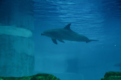 Indo-Pacific bottlenose dolphin (Merrillie) Tags: dolphin holidays underwater tropicalfish aquarium water bottlenosedolphin indopacificbottlenosedolphins marine fish touristattraction seacreatures