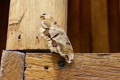 Costa Rica (joeksuey) Tags: costarica joeksuey insect rincondelavieja liberia waterfall moth toad laschorrerasfalls tree yellowtrumpet guanacaste toucan gecko truebug plumeria cortezamarillo haciendagauchipelin