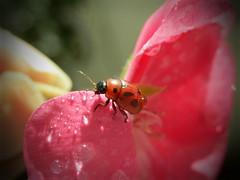 ... (annamariagiacomini) Tags: macro fiore coccinella