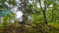 Old Pine (prajpix) Tags: tree trees wood woods woodland forest green moss grass lichen invernesshire highlands scotland birch birches birchwood nature pine caledonian scots roots rock