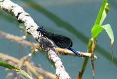 Damselfly Explored 24.6.2019 #128 (abrideu) Tags: abrideu canon damselfly insect macro water tree ngc explored explore npc